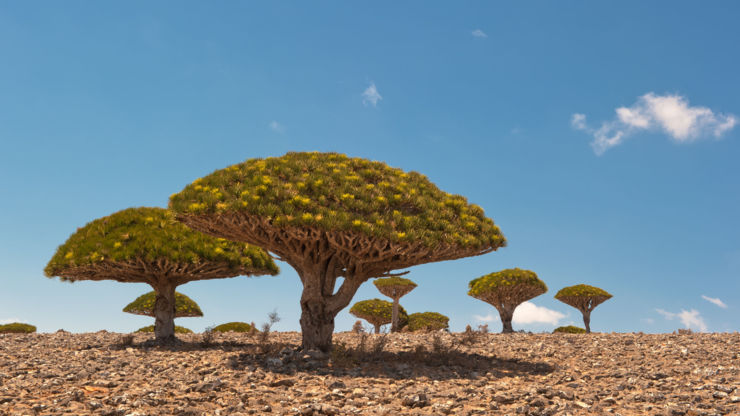 Dragon blood trees in Yemen