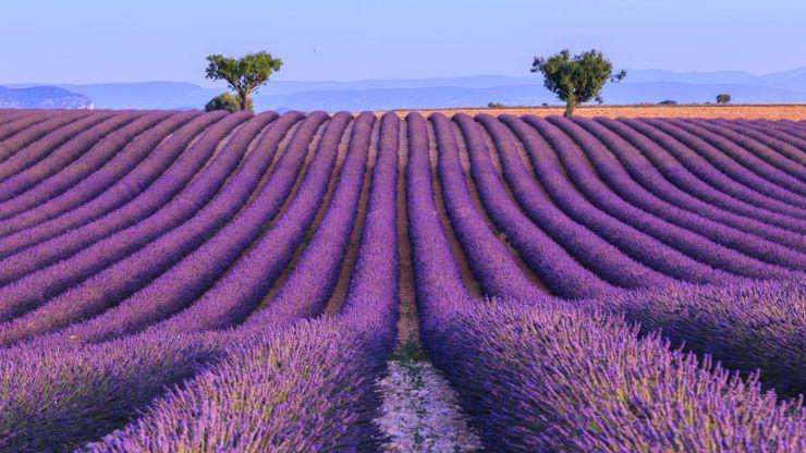Purple lavender fields in France