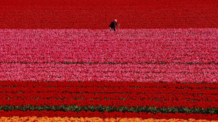 Red and pink tulip fields in the Netherlands